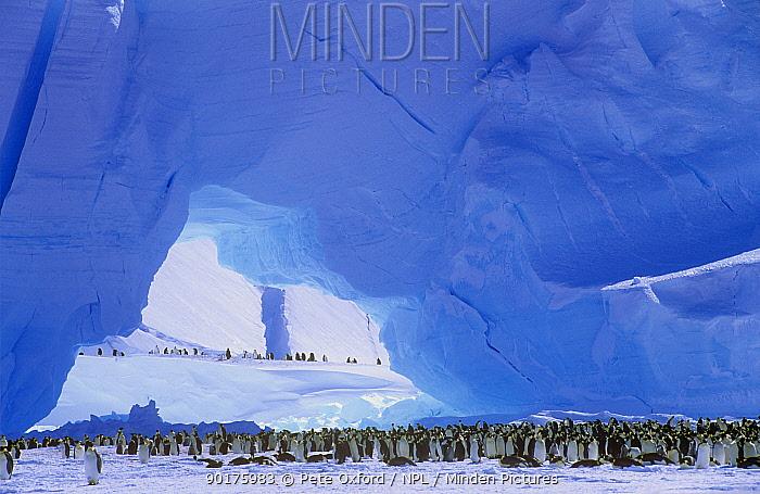 Emperor Penguins colony (Aptenodytes forsteri) Antarctic  -  Pete Oxford/ npl