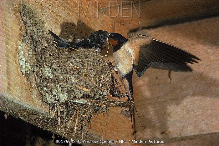 Barn Swallow feeding chicks at nest, England  -  Andrew Cooper/ npl