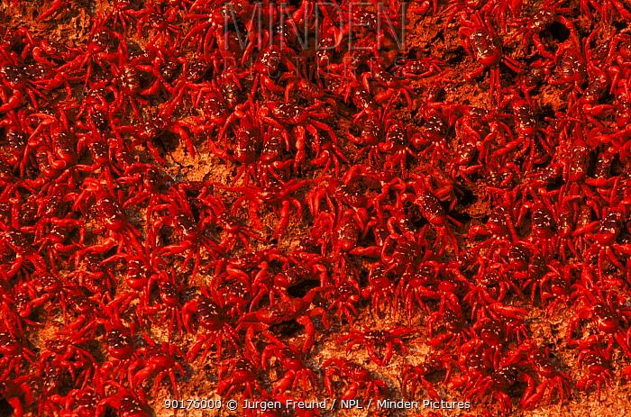 Mass of Christmas Island Red Crabs spawning on the beach  -  Jurgen Freund/ npl