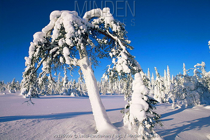 Snow covered pine, winter in boreal forest, Finland  -  Lassi Rautiainen/ npl