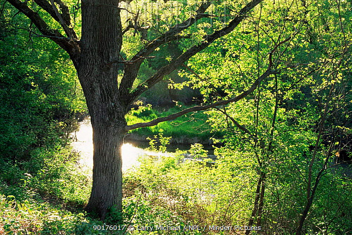 Oak tree (Quercus sp) beside creek in late spring, Wisconsin, USA, sequence 3, 6  -  Larry Michael/ npl