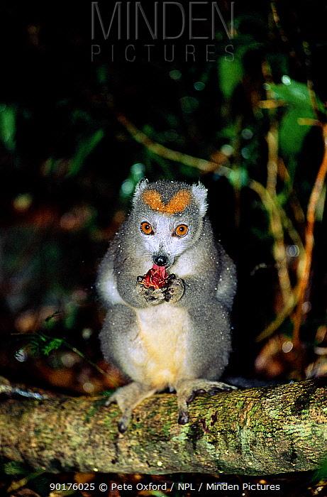 Crowned lemur feeding Female (Eulemur coronatus) Madagascar Montagne d'ambre NP  -  Pete Oxford/ npl