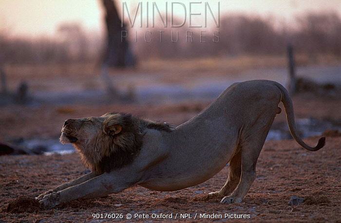 Male lion stretching (Panthera leo) Botswana Okavango delta Black mane  -  Pete Oxford/ npl