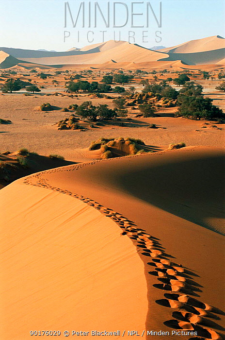 Footprints over sand dunes with oasis in distance, Sossesvlei, Namibia  -  Peter Blackwell/ npl