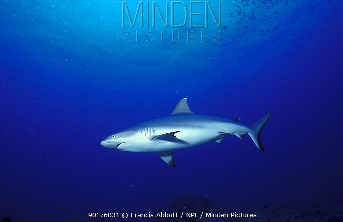 Blacktail Reef Shark Red Sea (Carcharhinus wheeleri)  -  Francis Abbott/ npl