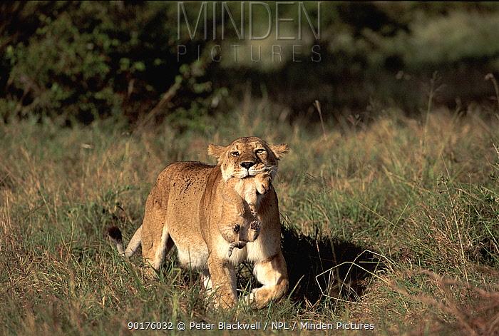Lioness carrying six-month cub, Masai Mara, Kenya Africa  -  Peter Blackwell/ npl