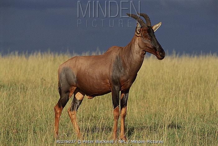 Topi male portrait, Masai Mara, Kenya  -  Peter Blackwell/ npl