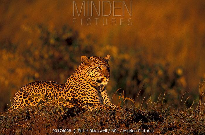 Leopard in golden sunset Kenya (Panthera pardus) Masai Mara Resting on grassy mound  -  Peter Blackwell/ npl