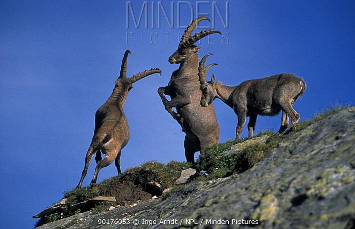Alpine ibex males fighting (Capra ibex ibex) Gran Paradiso NP Italy  -  Ingo Arndt/ npl