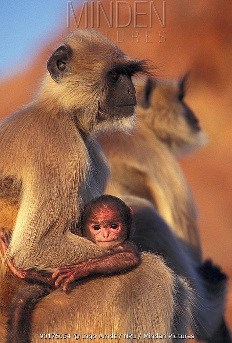 Hanuman langur mother and baby (Presbytis entellus) Jodhpur, India  -  Ingo Arndt/ npl