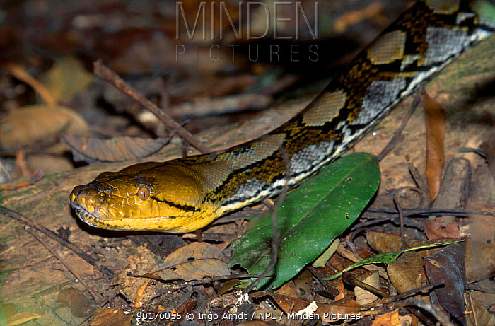 Reticulated python (Python reticulata) Khoa Yai NP Thailan  -  Ingo Arndt/ npl