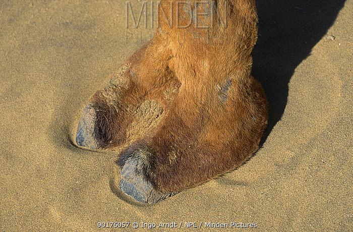 Dromedary camels foot close-up (Camelus dromedarius) Rajasthan India  -  Ingo Arndt/ npl