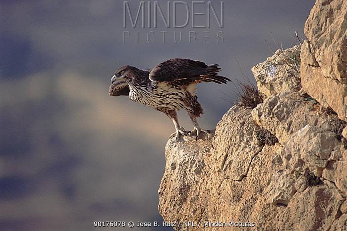 Bonelli's eagle female taking off from rock, Alicante Spain  -  Jose B. Ruiz/ npl