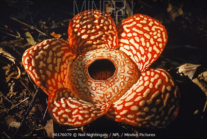 Rafflesia flower, Borneo  -  Neil Nightingale/ npl