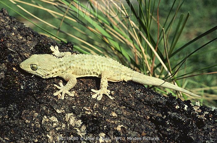 Common, Moorish Gecko (Tarentola mauritanica) Spain  -  Jose B. Ruiz/ npl