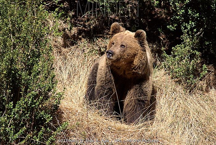 Brown Bear at El Hosquillo, Cuenca, Spain Captive animal  -  Jose B. Ruiz/ npl