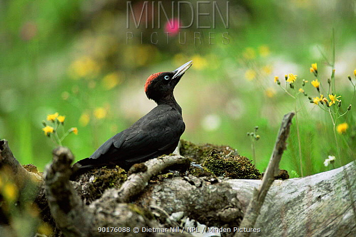 Black woodpecker (Dryocopus martiuson) profile on log, Germany  -  Dietmar Nill/ npl