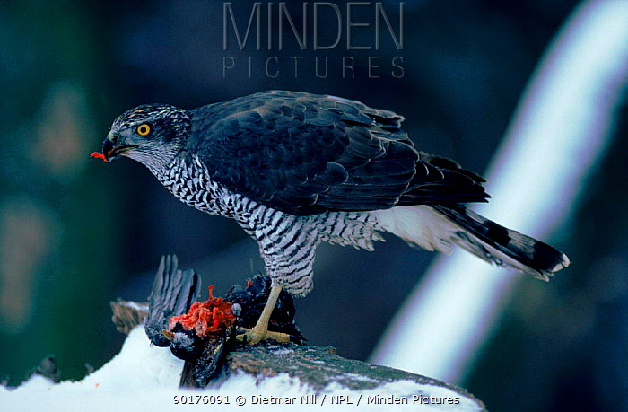 Northern goshawk feeds off prey in snow, Germany  -  Dietmar Nill/ npl