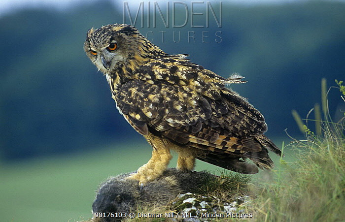 Eagle owl (Bubo bybo) perched on carrion carcass, Germany  -  Dietmar Nill/ npl