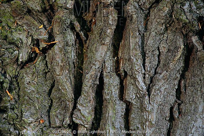 Close up of Oak tree bark Scotland (Quercus robur)  -  Brian Lightfoot/ npl