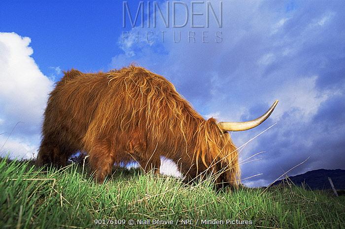 Highland cattle (Bos taurus) feeding in field, Argyll, Scotland  -  Niall Benvie/ npl