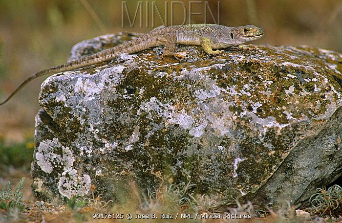 Lizard male on rock (Lacerta lepida) Alicante, Spain  -  Jose B. Ruiz/ npl