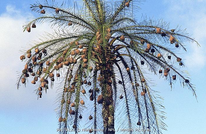 Huge number of Weaver bird nests in palm tree (Ploceidae sp) Cameroon, West Africa  -  Niall Benvie/ npl