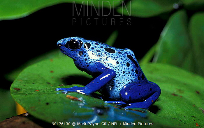 Blue poison arrow frog (Dendrobates azureus) rainforest, South America  -  Mark Payne-Gill/ npl