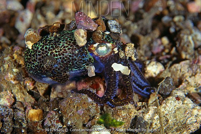 Bobtail squid on sea floor (Euprymna sp) Sulawesi, Indonesia  -  Constantinos Petrinos/ npl