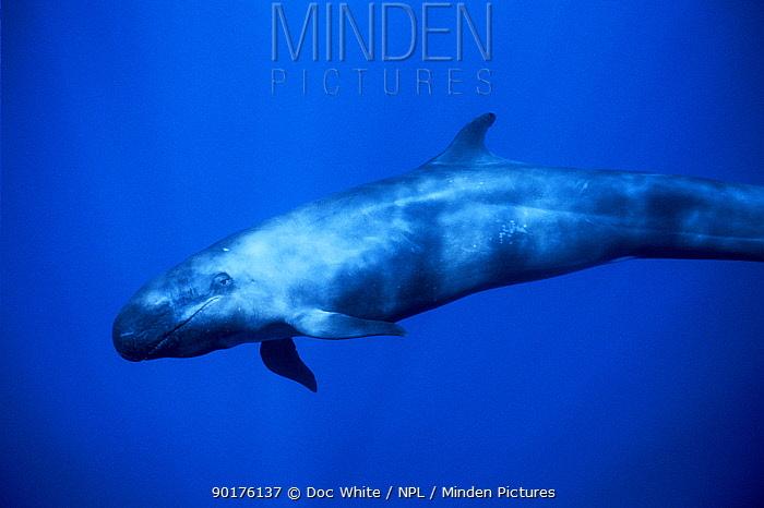 Underwater profile of False killer whale (Pseudorca crassidens) Azores, Atlantic  -  Doc White/ npl