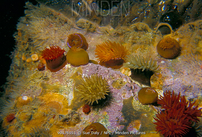 Beadlet anemones (Actinia equina) three colour forms Sark, Channel Is, UK Gouliot caves  -  Sue Daly/ npl