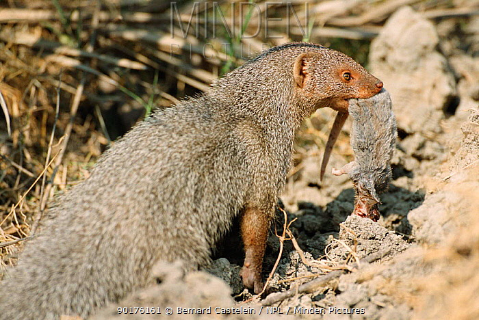 Small Indian mongoose with mouse prey (Herpestes auropunctatus) Keoladeo Ghana NP India  -  Bernard Castelein/ npl