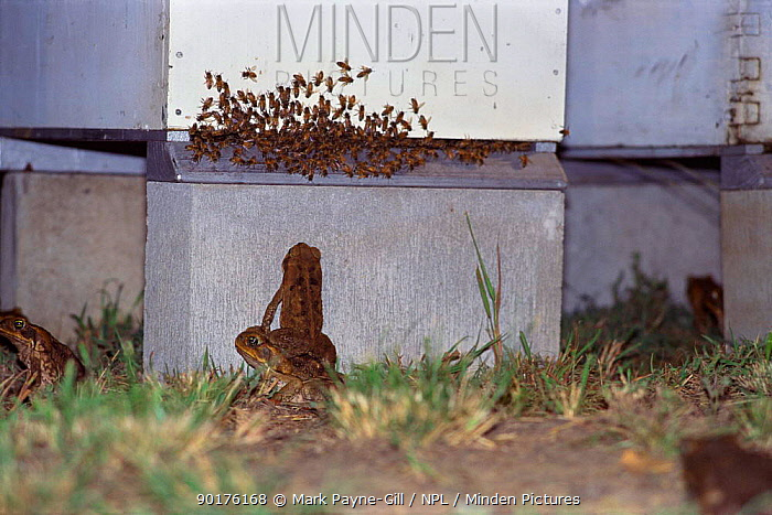 Giant, Cane toads attacking bees at hive (Bufo marinus) Queensland, Australia Captive  -  Mark Payne-Gill/ npl