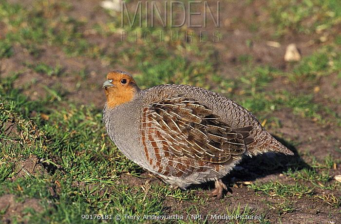 Grey partridge (Perdix perdix) Norfolk, UK  -  Terry Andrewartha/ npl