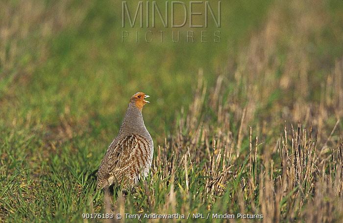 Grey partridge calling in stubble field (Perdix perdix) Norfolk, UK  -  Terry Andrewartha/ npl