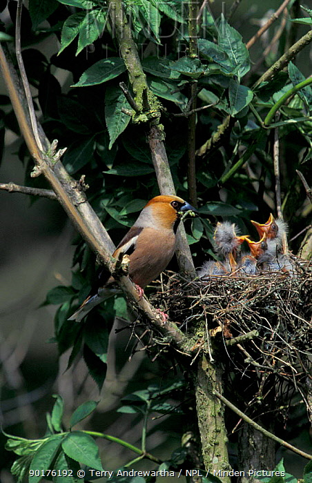 Hawfinch male feeds chicks at nest (Coccothraustes coccothraustes) Norfolk, UK  -  Terry Andrewartha/ npl
