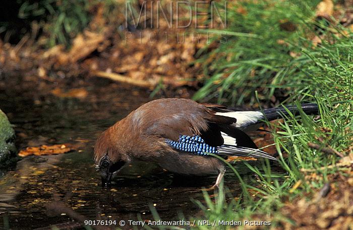 Jay drinking (Garrulus glandarius) Norfolk, UK  -  Terry Andrewartha/ npl