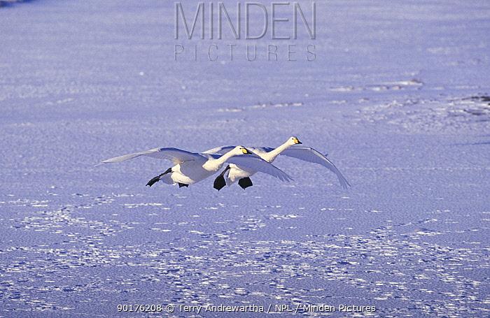 Whooper swans landing on snow (Cygnus cygnus) Welney, Norfolk, UK  -  Terry Andrewartha/ npl