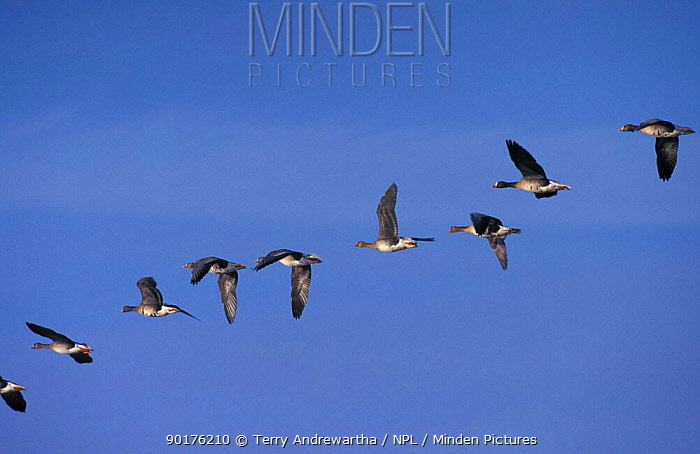 White fronted geese flying in line (Anser albifrons) Norfolk, UK  -  Terry Andrewartha/ npl