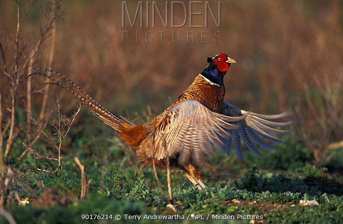 Cock Pheasant displaying, flapping wings (Phasianus colchicus) Norfolk, UK  -  Terry Andrewartha/ npl