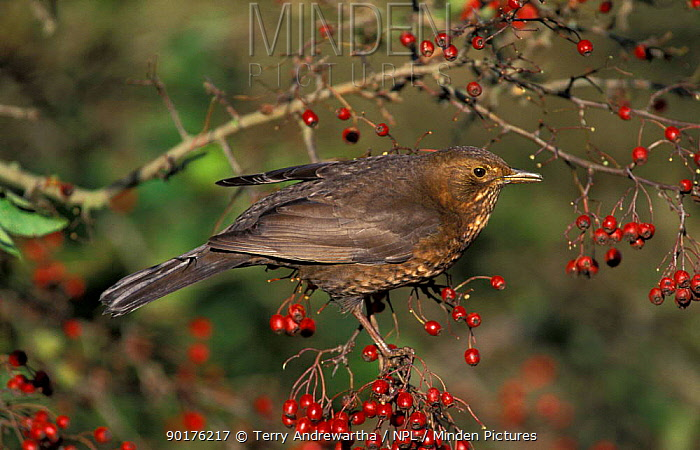 Blackbird female with berries (Turdus merula) UK  -  Terry Andrewartha/ npl