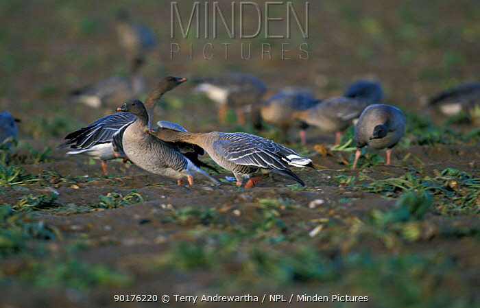 Pink footed geese feeding in sugar beet field and aggression (Anser fabalis brachyrhynchus)  -  Terry Andrewartha/ npl
