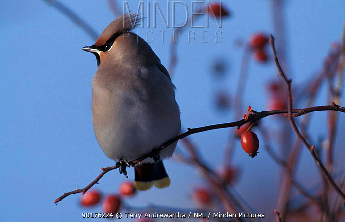 Bohemian waxwing perched with rose hips (Bombycilla garrulus) UK  -  Terry Andrewartha/ npl