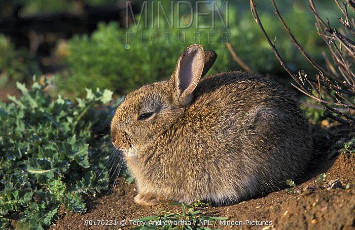 Young European rabbit profile (Oryctolagus cuniculus) Norfolk, UK  -  Terry Andrewartha/ npl