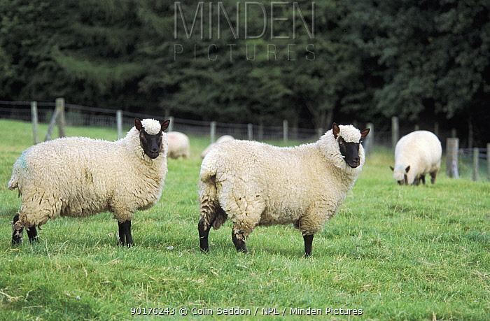 Clun forest sheep (Ovis aries) Wales UK  -  Colin Seddon/ npl