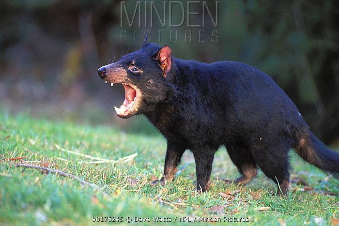Tasmanian devil vocalising (Sarcophilus harrisii) Mt Williams NP, Tasmania  -  Dave Watts/ npl