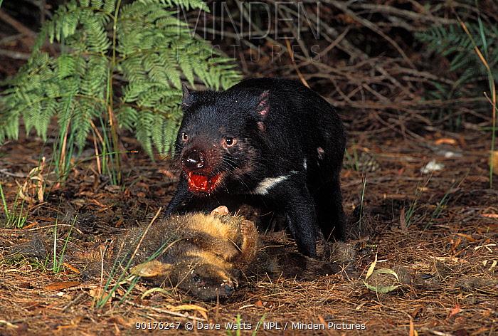 Tasmanian devil with prey (Sarcophilus harrisii) Mt Williams NP, Tasmania  -  Dave Watts/ npl