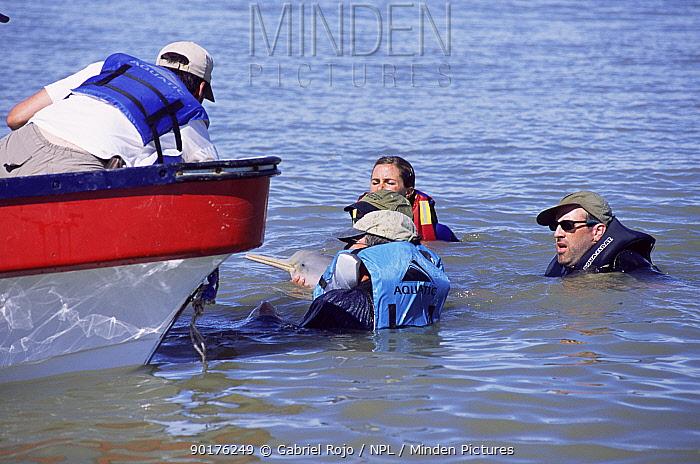 Scientists net a La Plata river dolphin, Argentina (Pontoporia blanvillei)  -  Gabriel Rojo/ npl