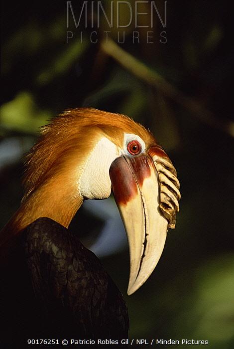 Blyth's hornbill portrait (Rhyticeros plicatus) Papua New Guinea, 2001  -  Patricio Robles Gil/ npl