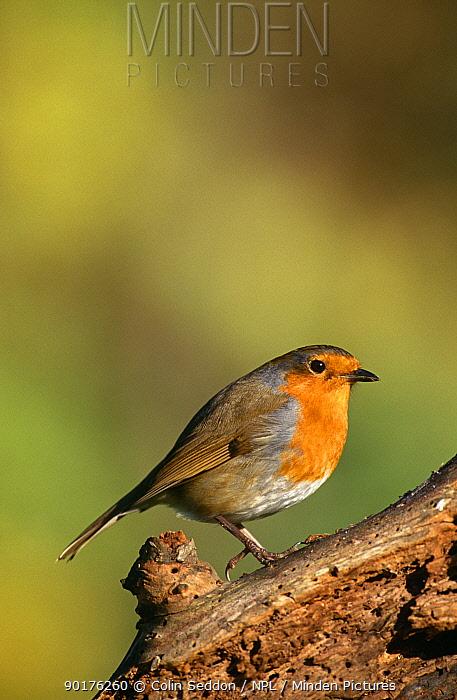 Robin (Erithacus rubecula) Somerset, UK  -  Colin Seddon/ npl
